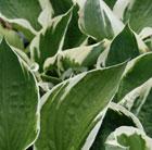 Hosta 'Patriot' (plantain lily)
