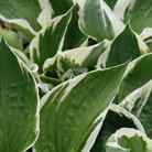Hosta 'Patriot' (plantain lily)