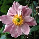 Anemone x  hybrida 'Konigin Charlotte' (Japanese anemone  ( syn. Queen Charlotte ))