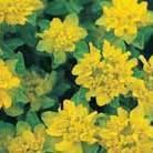 Euphorbia polychroma (spurge)