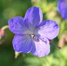 Geranium 'Johnson's Blue' (cranesbill)