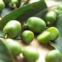 Kiwi Tree - Kiwi Issai