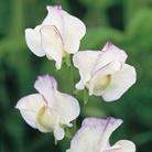 Romeo Sweet Pea Seeds