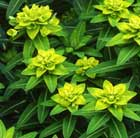 Euphorbia wallichii (spurge)
