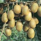 kiwi fruit 'Jenny' (kiwi fruit)