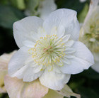 Helleborus niger Harvington double white (Christmas rose hellebore)