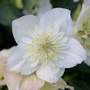 Helleborus niger Harvington double white (Christmas rose hellebore)