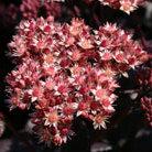 Sedum telephium (Atropurpureum Group) 'Purple Emperor' (stonecrop)