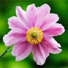 Anemone hupehensis var. japonica 'Pamina' (windflower)