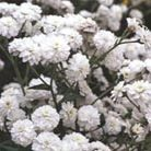 Achillea ptarmica (The Pearl Group) 'The Pearl' (clonal) (sneezewort)