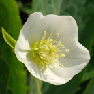 Helleborus x hybridus Harvington white (Lenten rose hellebore)