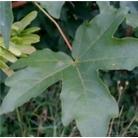 Acer campestre - Bare Root Hedging