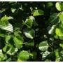 Alnus glutinosa  - Bare Root Hedging