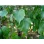 Betula pendula - Bare Root Hedging
