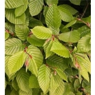 Carpinus betulus - Bare Root Hedging