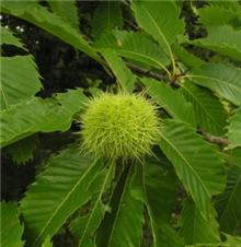 Castanea sativa - Bare Root Hedging