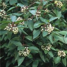 Cornus sanguinea - Bare Root Hedging