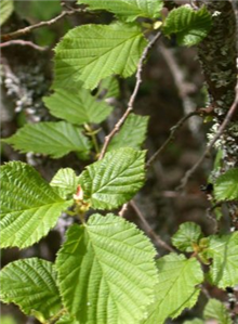 Corylus avellana - Bare Root Hedging