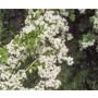 Crataegus monogyna - Bare Root Hedging