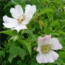 Rosa canina - Bare Root Hedging