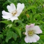 Rosa canina 'Dog Rose' - Bare Root Hedging