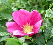 Rosa rugosa - Bare Root Hedging