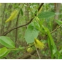 Salix caprea - Bare Root Hedging