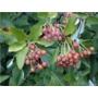 Sorbus aria - Bare Root Hedging