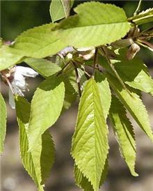 Prunus avium - Bare Root Hedging