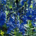Veronica austriaca teucrium 'Crater Lake Blue' (speedwell)