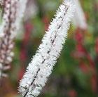 Actaea simplex Atropurpurea Group (bugbane (syn. Cimicifuga))