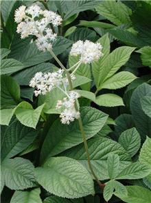 Rodgersia aesculifolia