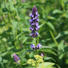 Agastache 'Blue Fortune' (Mexican giant hyssop)