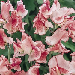 Flakes & Stripes Sweet Pea Seed Collection