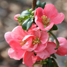 Chaenomeles x superba 'Pink Lady' (Flowering Quince)