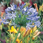 Agapanthus africanus (African lily)