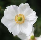 Anemone x  hybrida 'Honorine Jobert' (Japanese anemone)