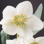 Helleborus niger Harvington hybrids (Christmas rose hellebore)