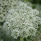 Cenolophium denudatum (Baltic parsley)