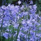 Agapanthus Headbourne hybrids (African lily)