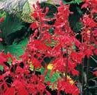 Lobelia cardinalis 'Queen Victoria' (cardinal flower)