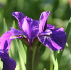 Iris sibirica 'Tropic Night' (Siberian iris)