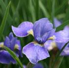 Iris sibirica 'Silver Edge' (Siberian iris)