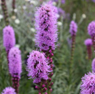 Liatris spicata 'Kobold' (gay feather)