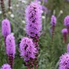 Liatris spicata 'Kobold' (gay feather)