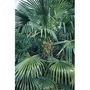 Trachycarpus Fortunei- Windmill Palm 1 packet (10 seeds)