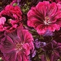Malva Sylvestris Magic Hollyhock 1 packet (100 seeds)