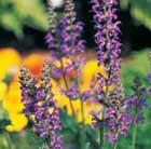 Salvia nemorosa 'Ostfriesland' (Balkan clary)