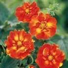 Potentilla William Rollisson