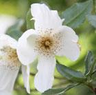 Eucryphia x nymansensis 'Nymansay' (Brush Bush)